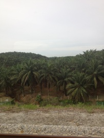 We passed countless palm oil plantations....
