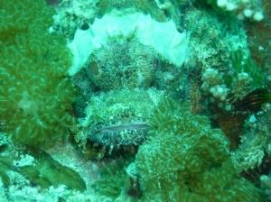 JuneScorpionFish
